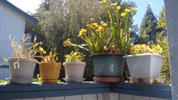 Carnivorous plants often enjoy the outdoors all year round!