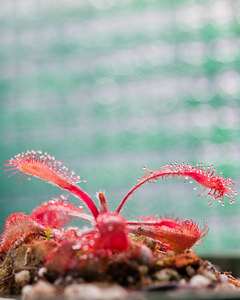 Drosera Venusta, a south African sundew and a stunning carnivorous plant!