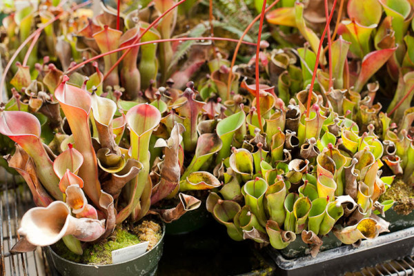 Sun Pitcher Plants (heliamphora) at California Carnivores.