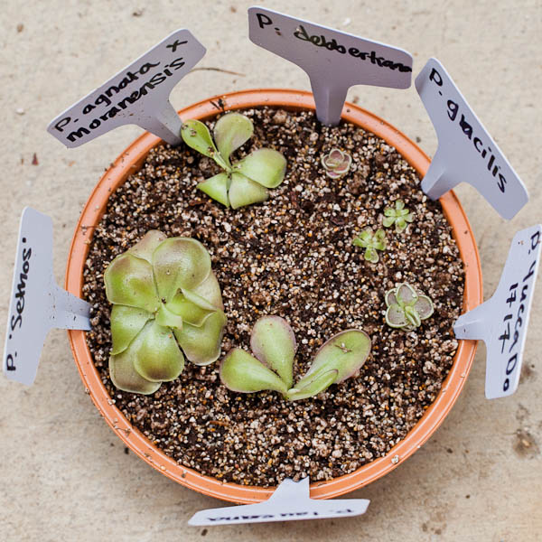 Mexican butterworts (pinguicula) are some of the prettiest carnivorous plants.