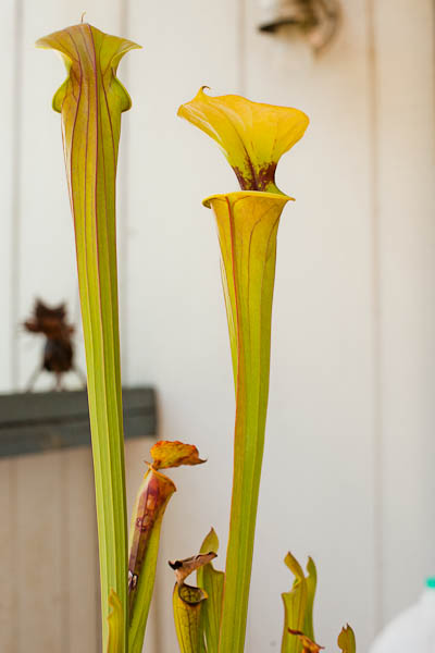 "Sarracenia Flava ""Cuprea"" pitchers open for business!"
