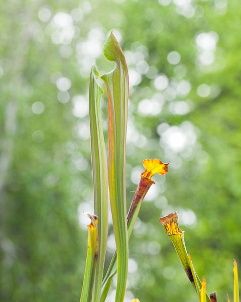 "Sarracenia Flava ""Cuprea"" pitchers almost opening!"
