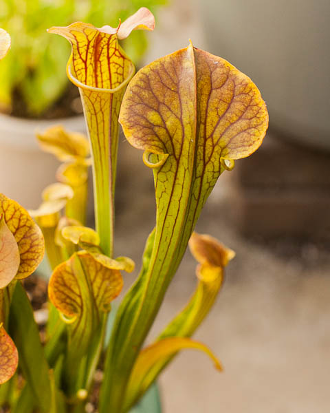 Gorgeous veins on a Sarracenia (American pitcher plant) hybrid.