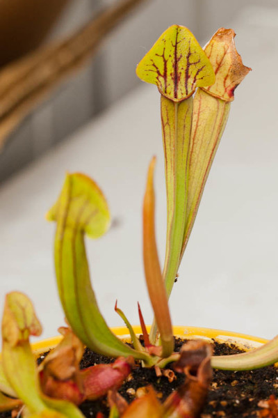 Hybrid Sarracenia seedlings