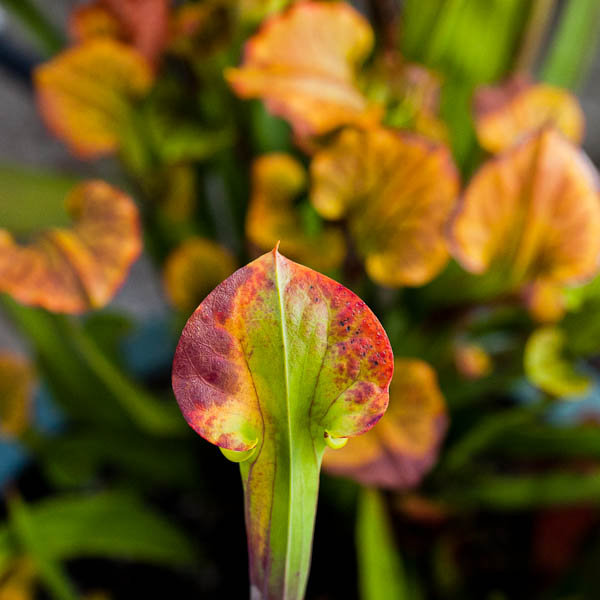 Many American pitcher plants (Sarracenia) create autumn leaves in gorgeous colors!