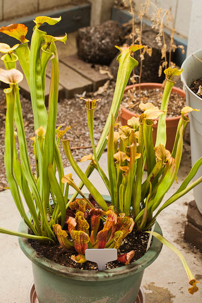 Sarracenia mixed variety mini bog