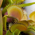 Venus flytraps can also make interesting colors in the autumn season!