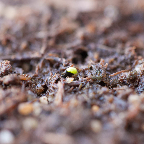 Growing Venus flytraps from seeds is a lengthy process, but so rewarding!