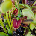 Dormant Venus Flytraps often hug the ground and turn dark, intense colors.