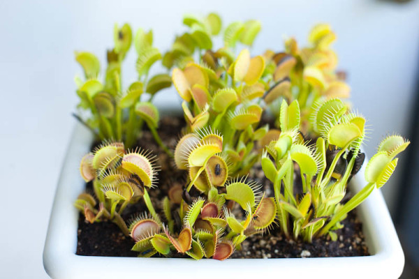 Typical Venus flytraps display lots of different traits!