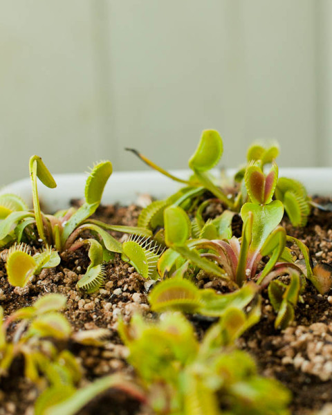 Venus flytraps (Dionaea muscipula)  waking up from winter dormancy.