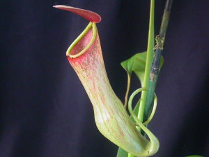 Asian Pitcher Plant. Nepenthes khasiana.