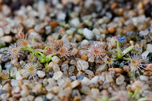 Pygmy Drosera Where Have You Been All My Life The