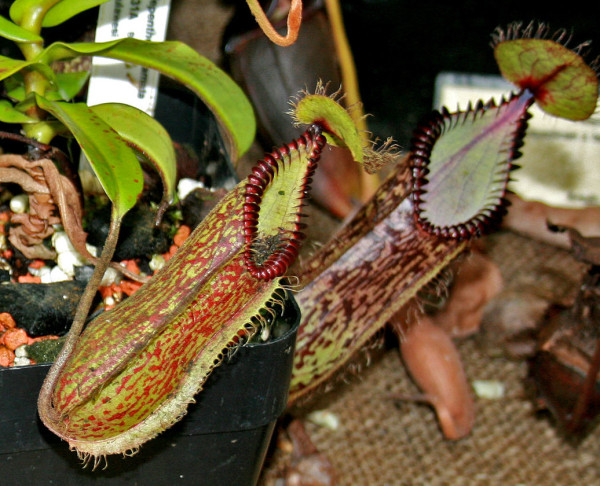Nepenthes hamata, another plant coveted by collectors.