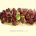 Cephalotus Follicularis Botanical Art Print