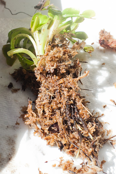 Use sphagnum moss to keep roots moist when shipping plants bare root.