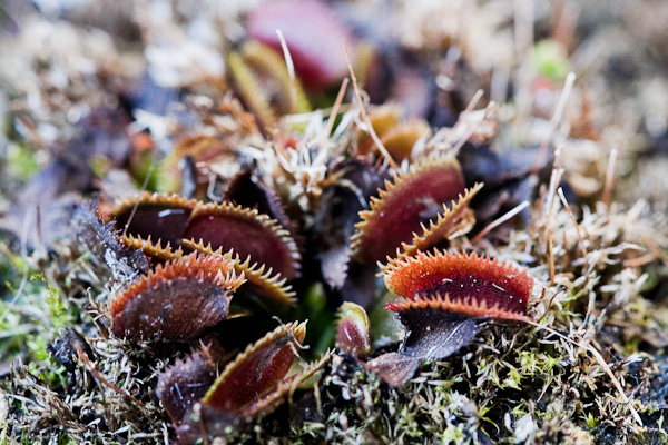Red Piranha Venus fly trap