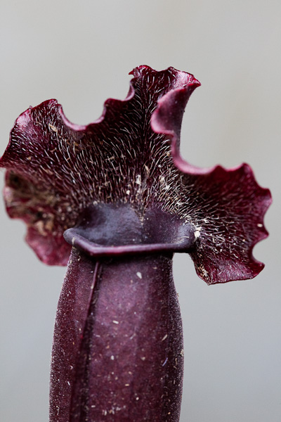 Sarracenia x moorei x purpurea hybrids make some beautiful ruffled hoods!