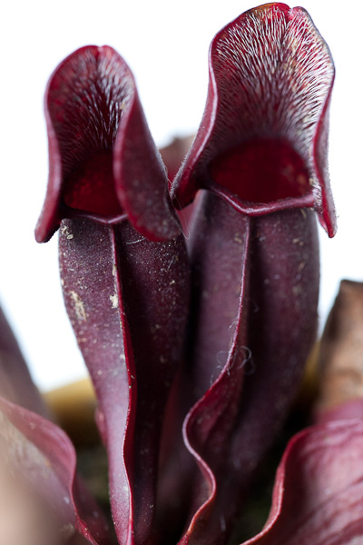 The purple pitcher plant Sarracenia purpurea.