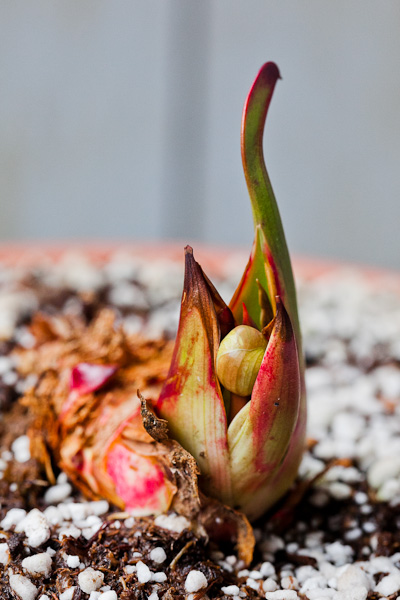 "Flower bud emerging from dormant Sarracenia flava ""Cuprea"" rhizome."