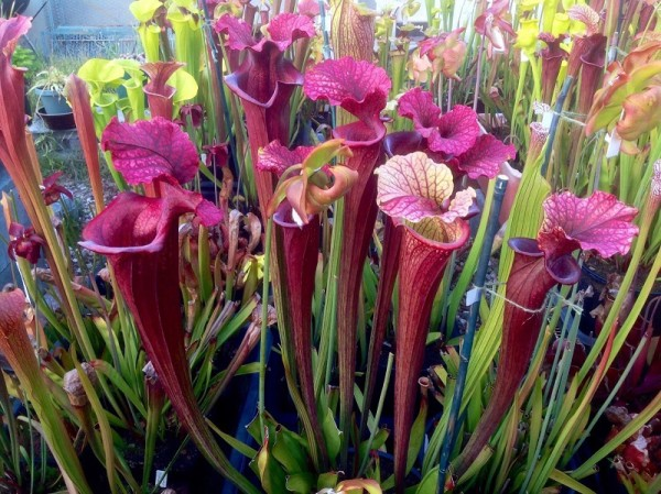 "Sarracenia ""Saurus"" by Phil Falusi, bought for $1,025."
