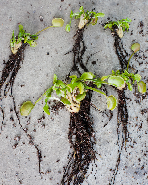 How to ship Venus flytraps and other bare root plants safely and securely!
