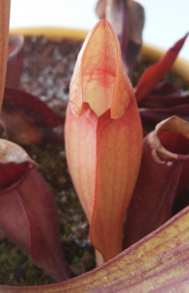 Newly grown pitcher on Sarracenia purpurea