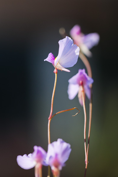 Utricularia blanchetii, a carnivorous bladderwort with ruffly purple flowers.