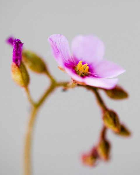 The tiny, pink flowers of carnivorous sundew, Drosera nidiformis. Click to see more!