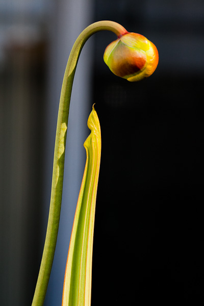 "Sarracenia flava ""Cuprea"" with flower bud almost ready to bloom."