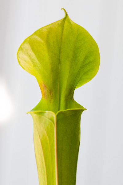 Sarracenia flava var. cuprea developing its distinct throat markings. Click to see more!