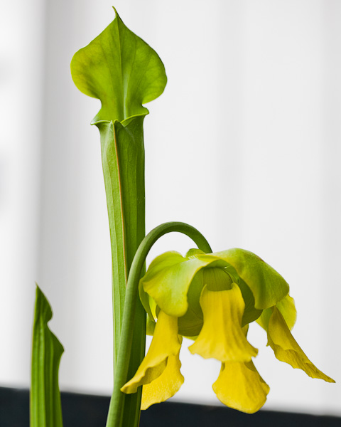 Sarracenia flava var. cuprea pitcher and flower blooming.