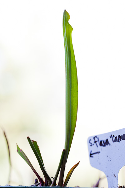 Sarracenia, North American pitcher plant, growing a new pitcher