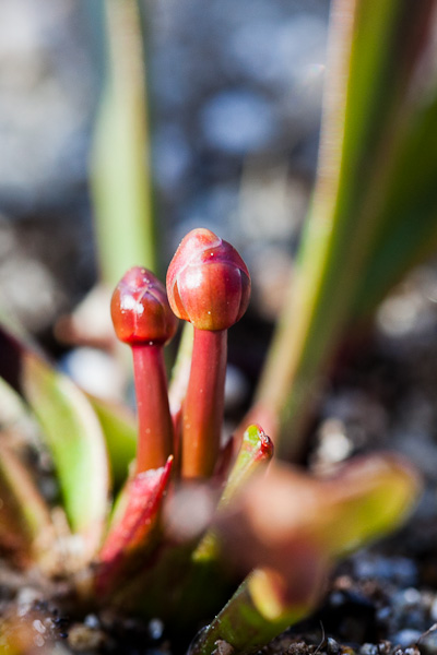 Sarracenia pitcher plant flower bud emerging from the rhizome.