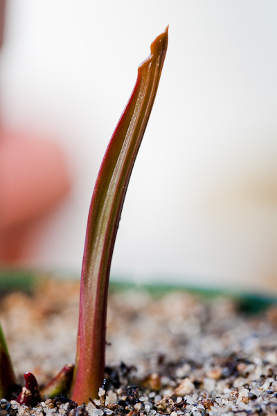 New pitcher growing from Sarracenia, the carnivorous North American pitcher plant.