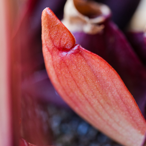 Sarracenia purpurea new pitcher forming