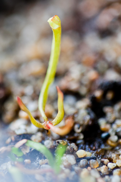 Sarracenia seedlings growing under indoor light. Click to learn more!