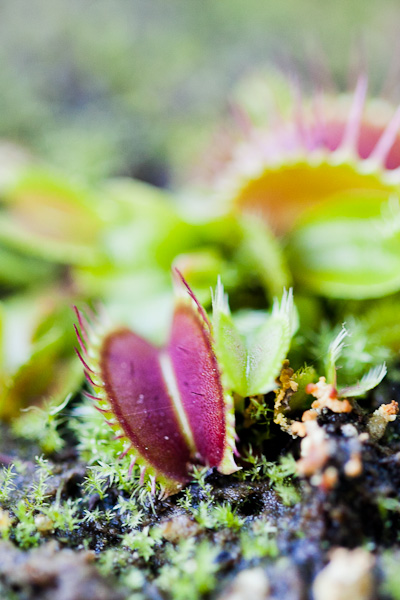 dionaea-muscipula-venus-flytrap-fused-tooth (1 of 1)