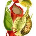 Nepenthes botanical print featuring N. albomarginata, N. rafflesiana, and N. sanguinea.