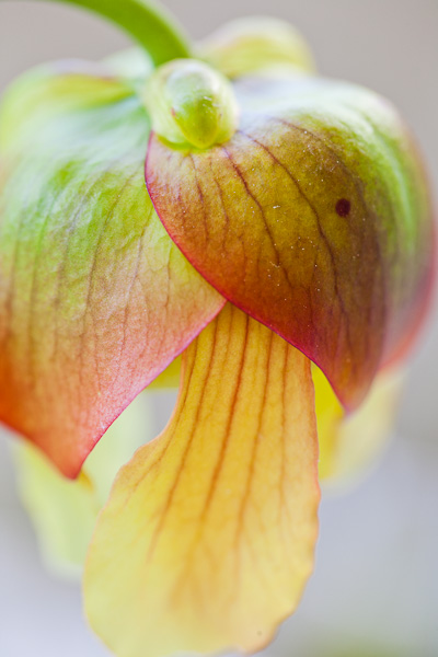 The flower of a carnivorous North American pitcher plant. (Sarracenia Judith Hindle x flava var. atropurpurea.)