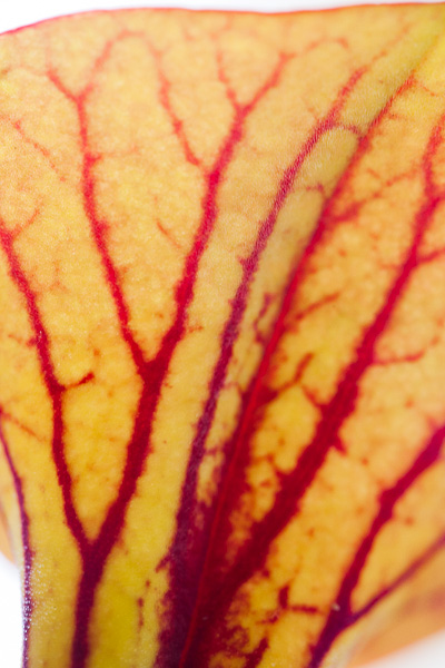 otography. Macro shots of carnivorous Sarracenia plants.