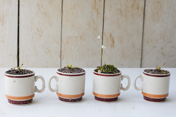 Baby carnivorous plants in mini tea cup planters. Click for more info!