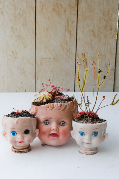 Carnivorous sundew plants in doll head planters. Cute and just a touch of creepy!