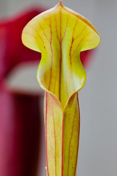 Sarracenia flava var. atropurpurea clone MK F27a). Location: Blackwater River State Forest, FL.