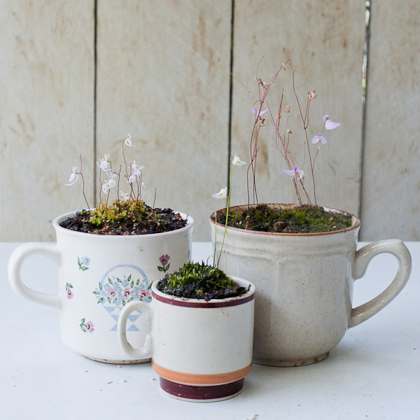 Carnivorous bladderworts potted in tea cups make great house plants! Click to find out more!