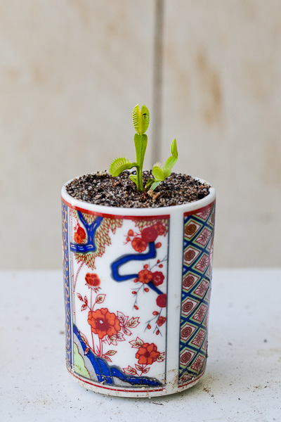 Venus flytrap in a Japanese style ceramic tea cup planter