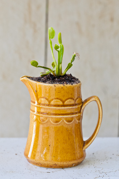 Venus flytrap in a unique ceramic planter