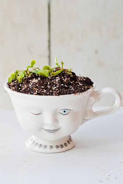 Bailey's face tea cup as a Venus flytrap planter