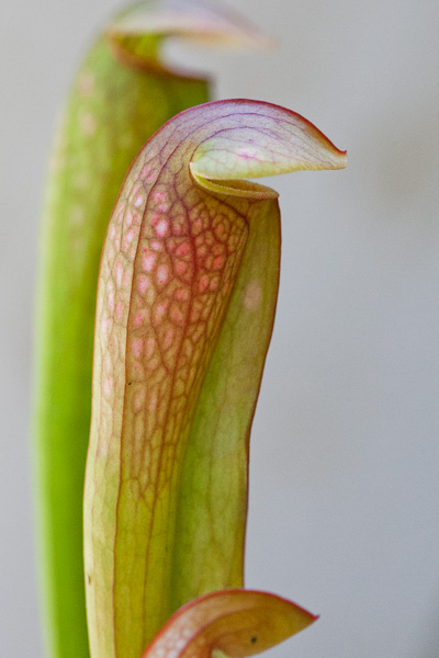 "Sarracenia ""Bug Bat"". Carnivorous North American pitcher plant."