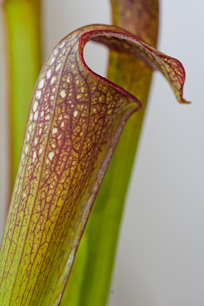 Sarracenia minor hybrid. North American Pitcher Plant.
